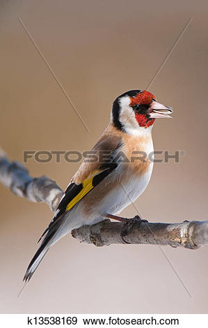 Stock Photograph of European Goldfinch (Carduelis carduelis.