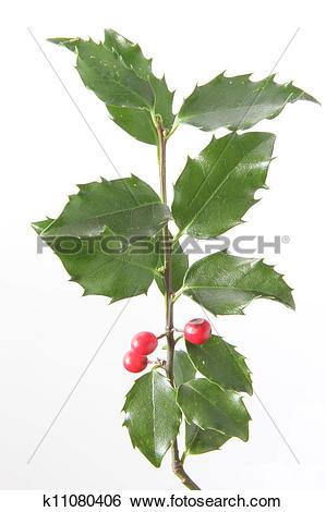 Stock Images of European holly (Ilex aquifolium) k11080406.