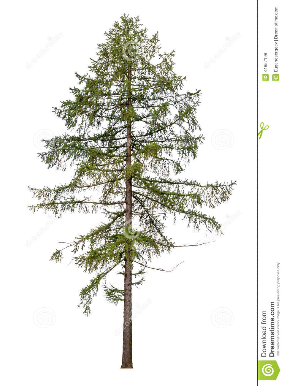 Tall European Larch Tree Isolated On White Stock Photo.
