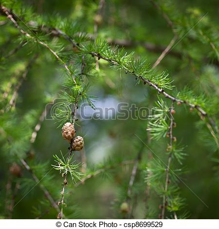 Stock Photographs of Relaxing larch greenery: closeup of European.