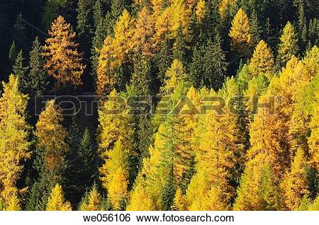 Stock Images of European Larch tree (Larix europaea) forest in.