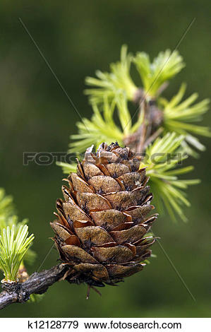 Stock Photograph of European Larch foliage and cone k12128779.
