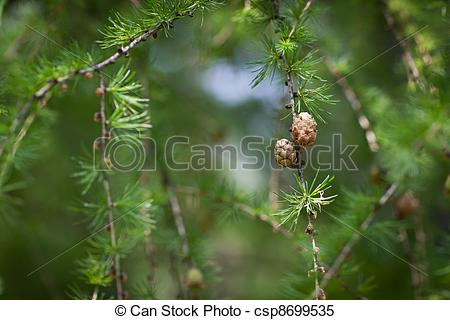 Stock Images of Relaxing larch greenery: closeup of European larch.