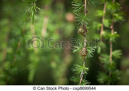 Stock Photo of Relaxing larch greenery: closeup of European larch.