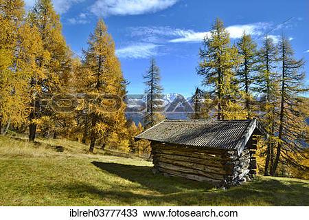 "Stock Photo of ""Hut, larch meadows, European Larch (Larix decidua."