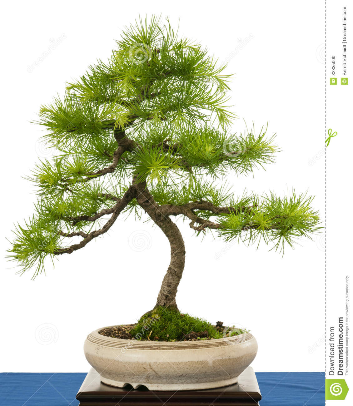 Green European Larch (Larix Decidua) As Bonsai Tree Stock Photo.