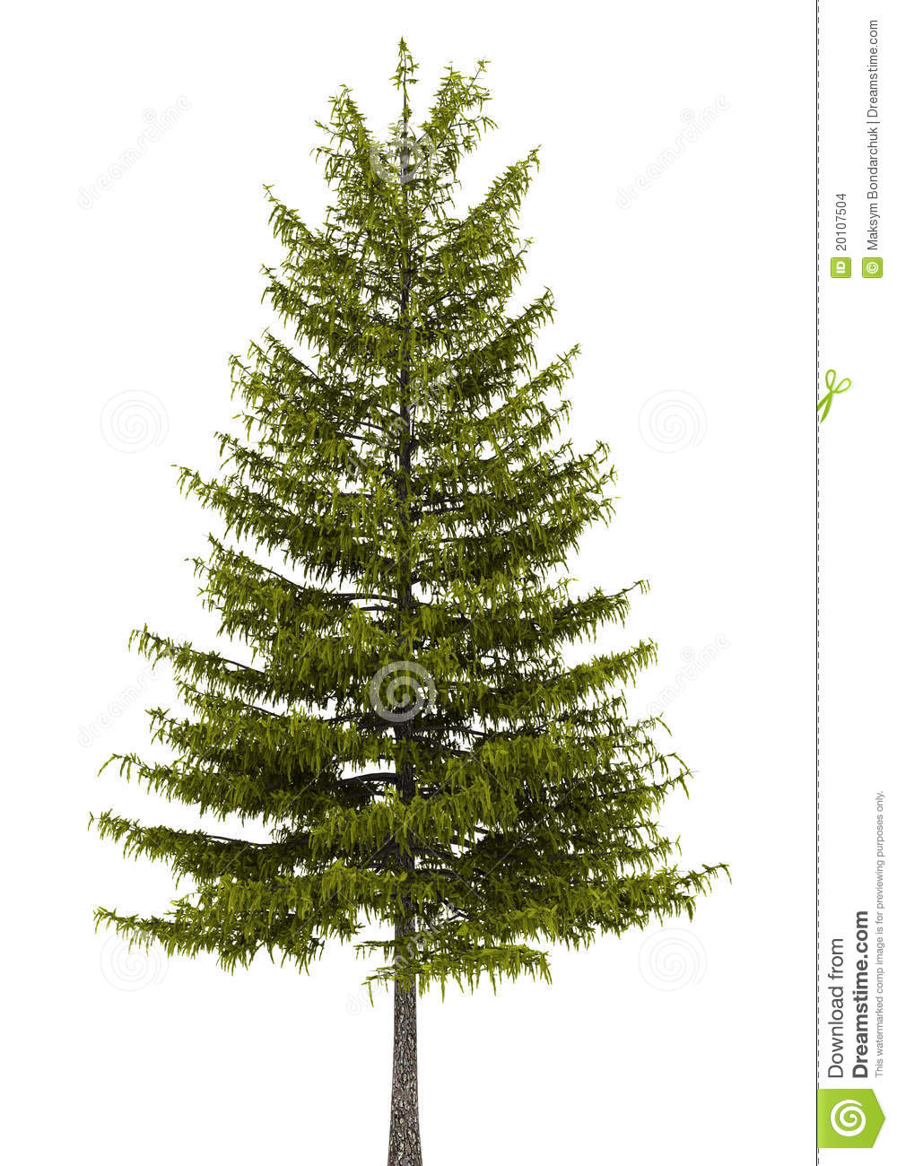 European Larch Tree Isolated On White Stock Images.