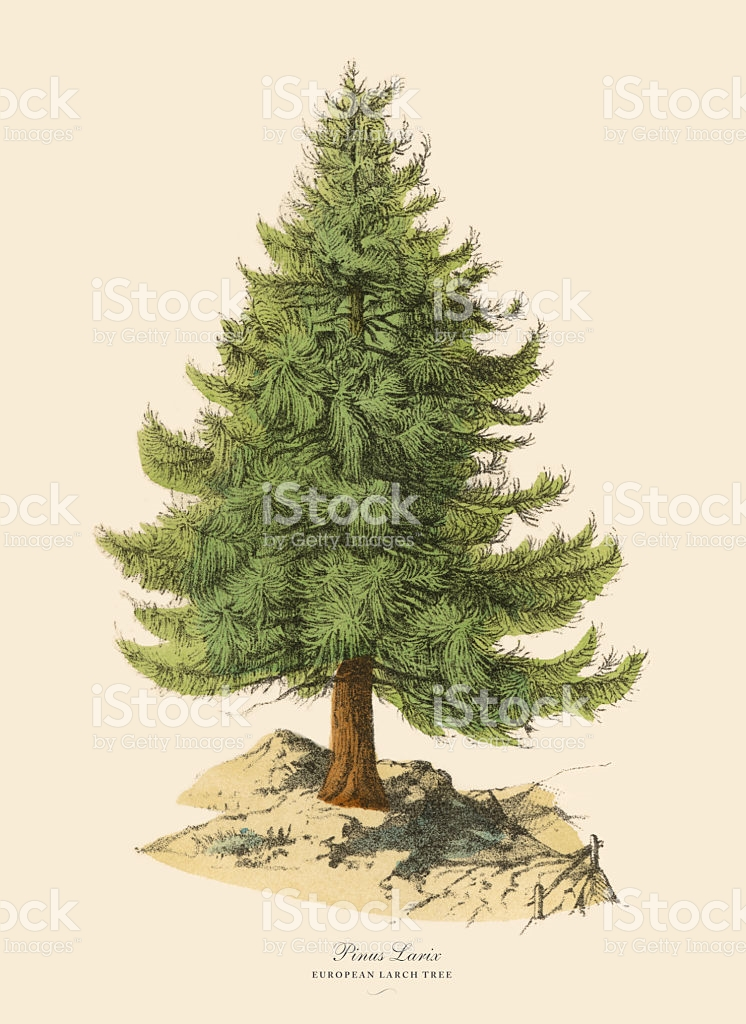 European Larch Tree Or Pinus Larix Victorian Botanical.