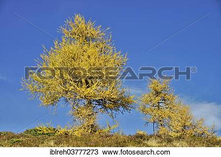 Stock Photo of European Larch (Larix decidua), larch meadows.