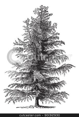 European larch (Larix Europaea) or Larix decidua, vintage engrav.