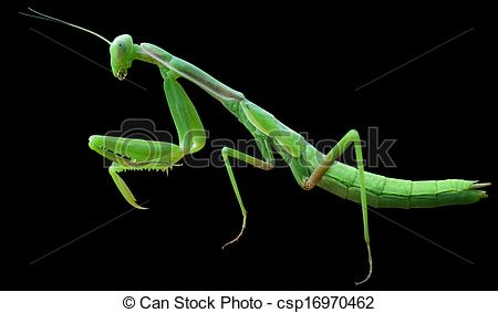 Stock Illustration of Praying Mantis on black background.