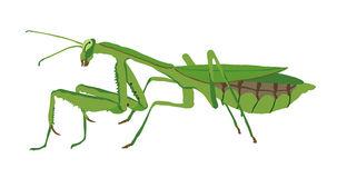 Praying Mantis Stock Illustrations.