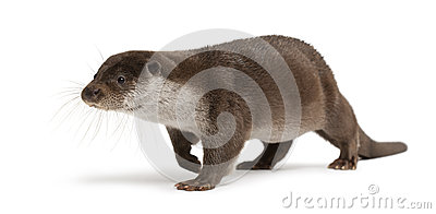 European Otter, Lutra Lutra, Isolated Stock Photo.