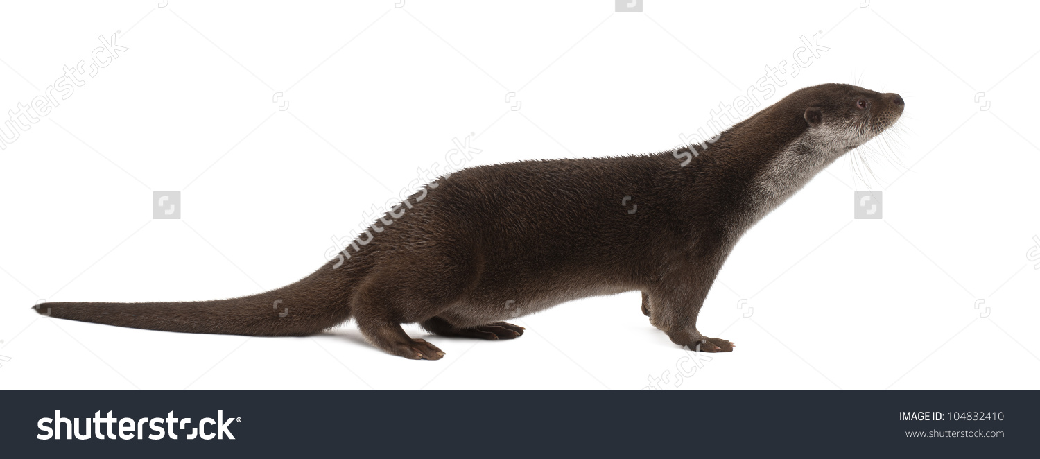 European Otter Lutra Lutra 6 Years Stock Photo 104832410.