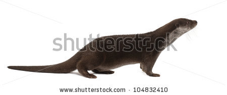 Otter Isolated Stock Photos, Royalty.