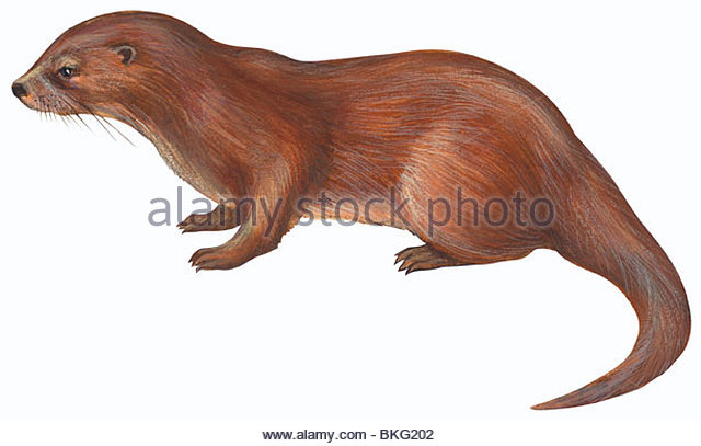 Illustration Otter Stock Photos & Illustration Otter Stock Images.