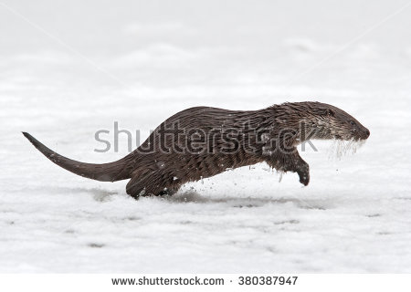 Otter Europe Stock Photos, Royalty.