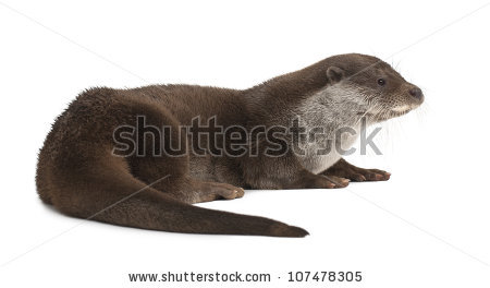 European Otter Stock Photos, Royalty.