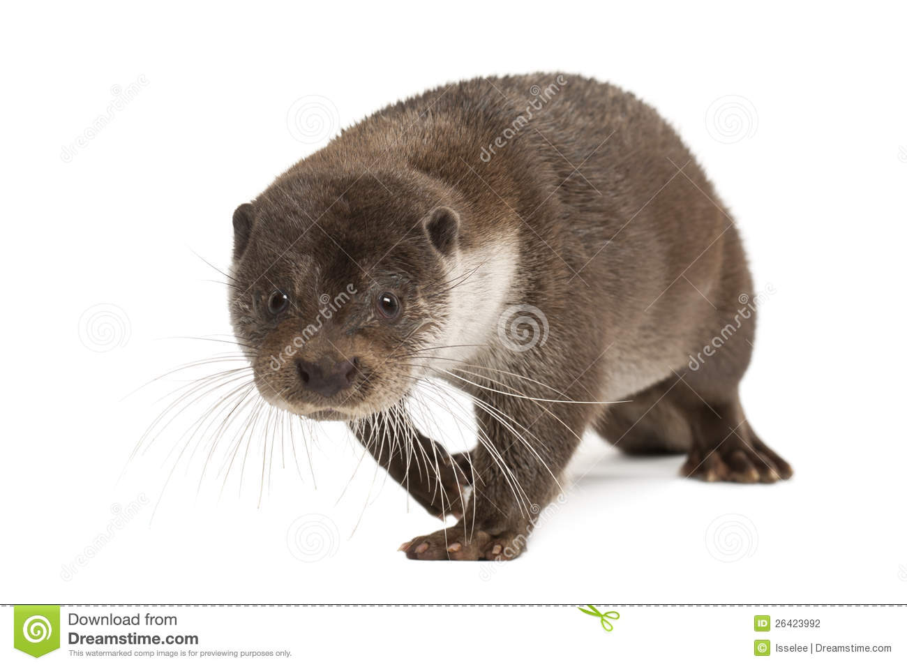 European Otter (Lutra Lutra) Royalty Free Stock Photos.