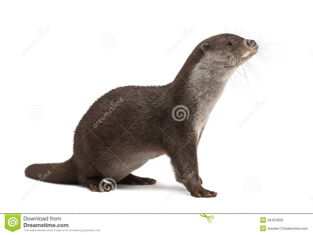 European Otter, Lutra Lutra, 6 Years Old Royalty Free Stock Images.