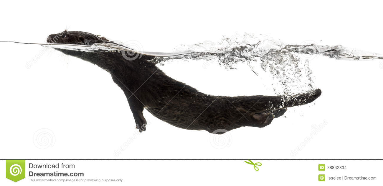 Side View Of An European Otter Swimming Stock Photo.