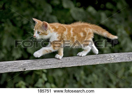 Stock Photography of European Shorthair cat. Kitten (9 weeks old.