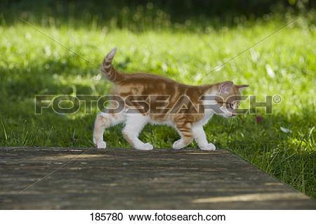 Stock Photography of European Shorthair cat. Kitten (9 weeks old.