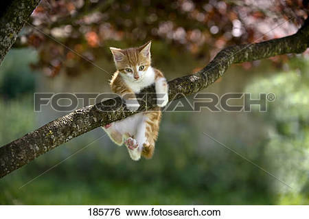 Stock Images of European Shorthair cat. Kitten (9 weeks old.