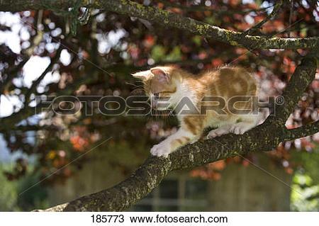 Stock Photo of European Shorthair cat. Kitten (9 weeks old.