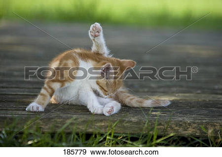 Stock Photograph of European Shorthair cat. Kitten (9 weeks old.