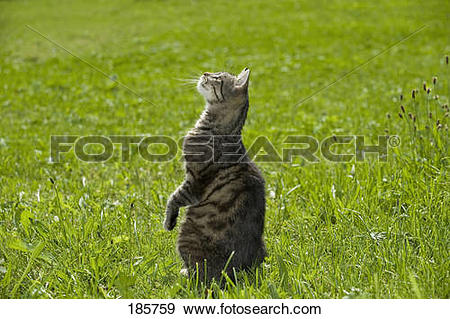 Stock Photograph of European Shorthair cat. Tabby adult sitting on.