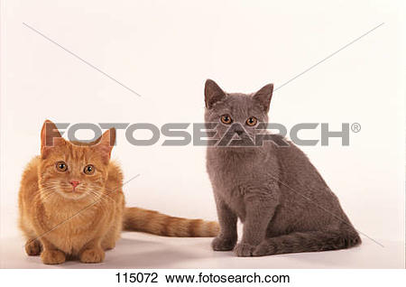 Stock Photo of two young European Shorthair.