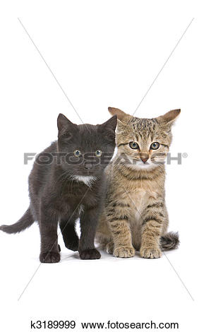 Stock Photograph of european shorthair cats k3189999.