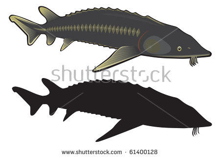 The Figure Shows The Sturgeon Fish Stock Vector Illustration.