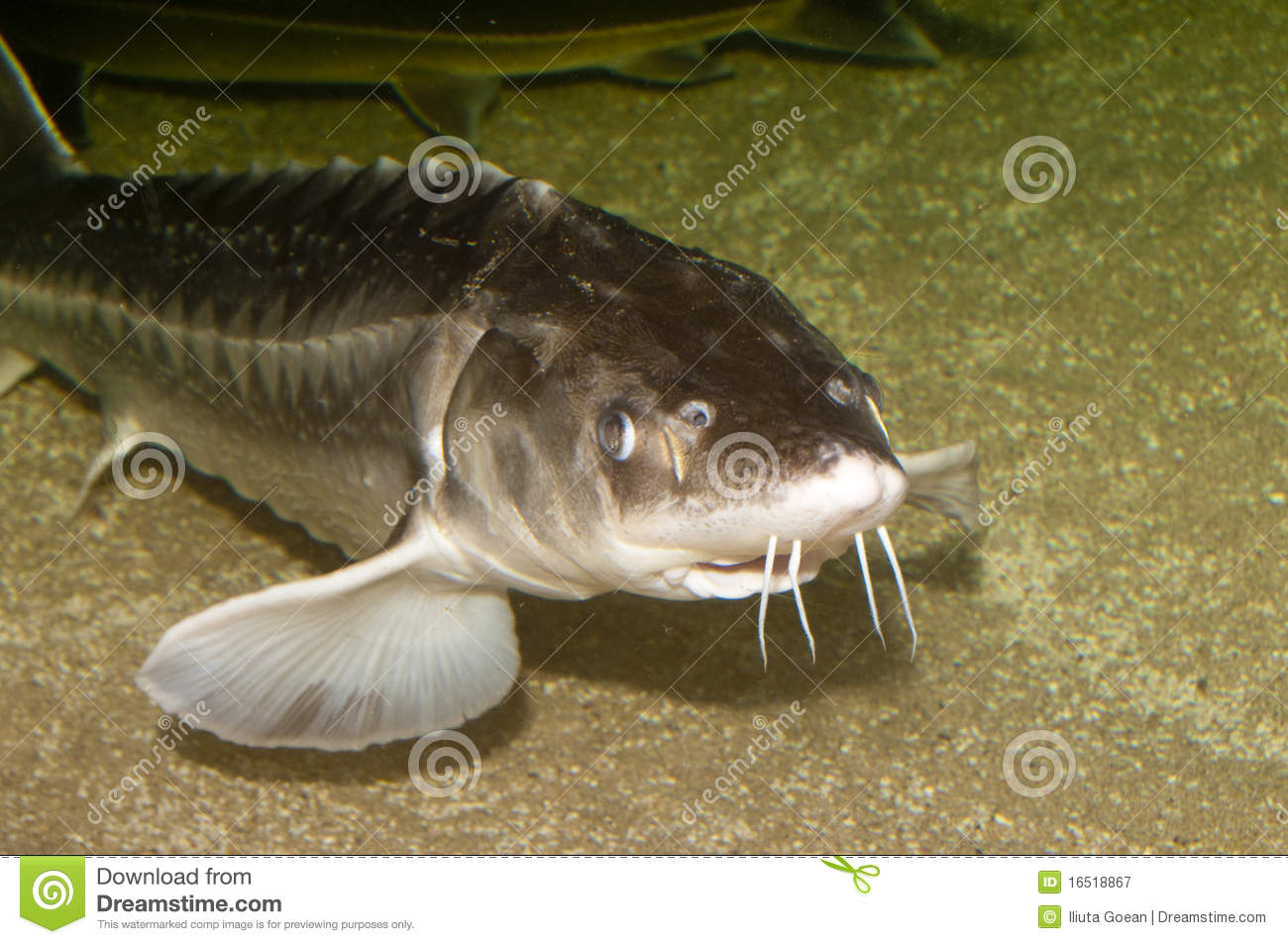 Beluga, European Sturgeon (Huso Huso) Royalty Free Stock.