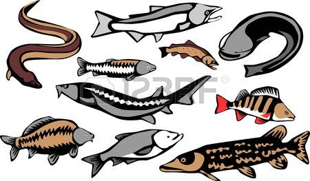 Animal Sturgeon Stock Photos Images. Royalty Free Animal Sturgeon.