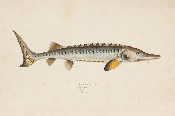 Sturgeon Drawings Clip Art, Vector Images & Illustrations.