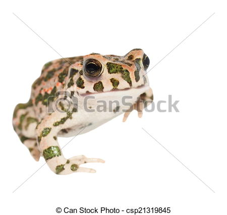 Drawing of young european green toad isolated on white background.