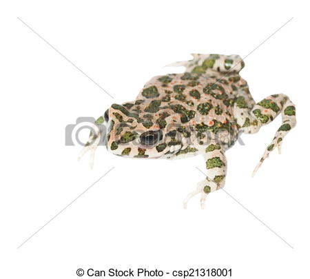 Stock Illustration of young european green toad isolated on white.