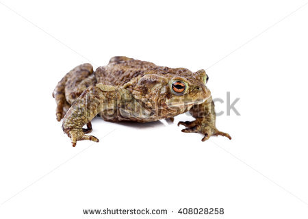 European Toad Stock Photos, Royalty.
