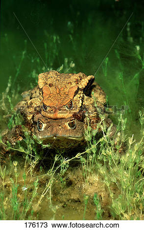 Stock Photo of European Common Toad (Bufo bufo), mating under.