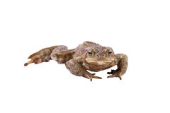 European Common Toad Bufo Bufo Stock Photography.