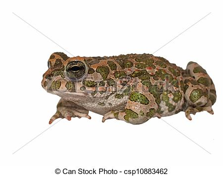 Stock Image of European green toad, Bufo viridis, isolated on.
