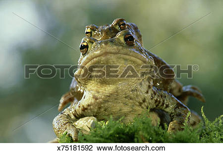 Stock Photo of common european toad, bufo bufo, mating behaviour.