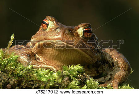 Stock Photo of common european toad: bufo bufo germany x75217012.