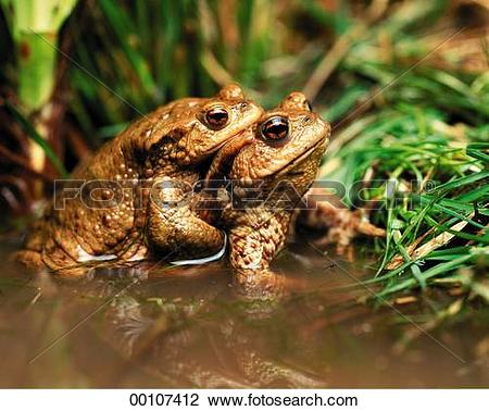 Stock Photo of European, European common toad, European common.