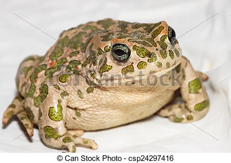 Stock Photography of Common European Toad.