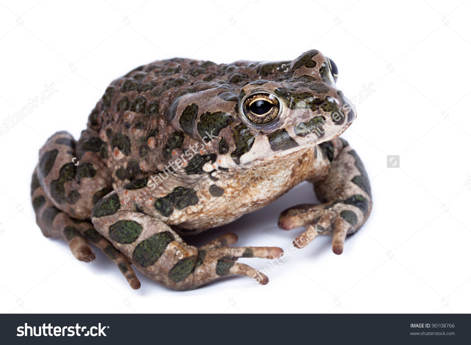 Bufo Viridis, European Green Toad.Toad In Studio Against A White.