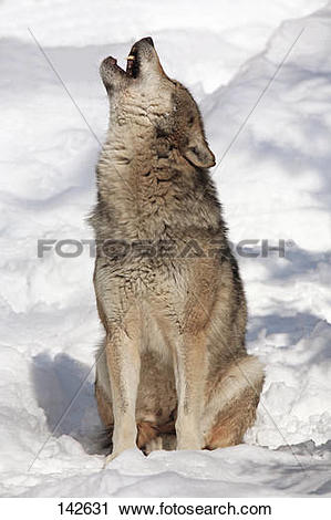 Stock Photography of european wolf.