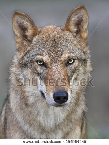 Wolf Eyes Stock Photos, Royalty.